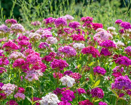 Flowers Dianthus