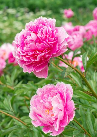 peonies: Flowers Pink Peonies Stock Photo