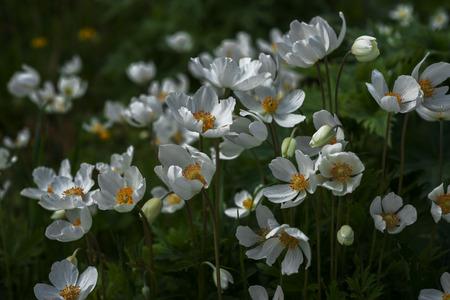 anemones: Flowers white anemones in the dark