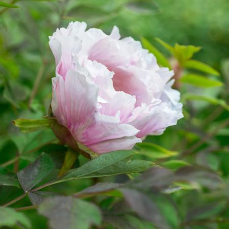 paeonia: Flower Paeonia suffruticosa, bud