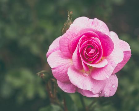 rosas rosadas: Flor rosa rosa