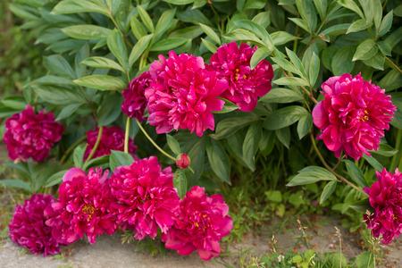 pfingstrosen: Bl�ten rosa Pfingstrosen im Garten Lizenzfreie Bilder