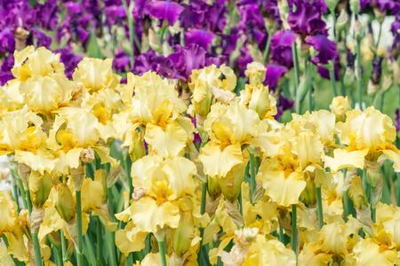 purple irises: Flowers yellow and purple irises