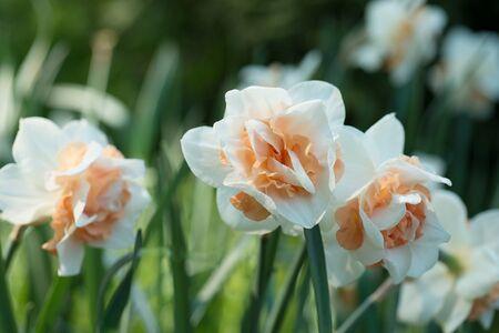 daffodils: Flowers daffodils