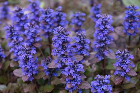 Flower  Ajuga