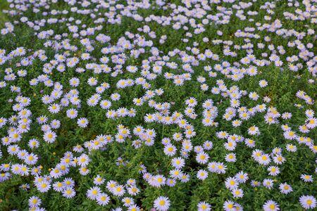aster: Aster perennial flowers