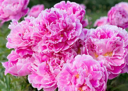 pfingstrosen: Blüten rosa Pfingstrosen im Garten Lizenzfreie Bilder