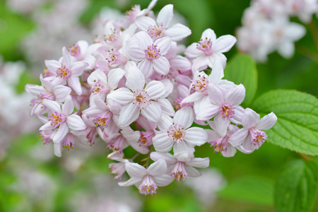 Flower Deutzia Stock Photo