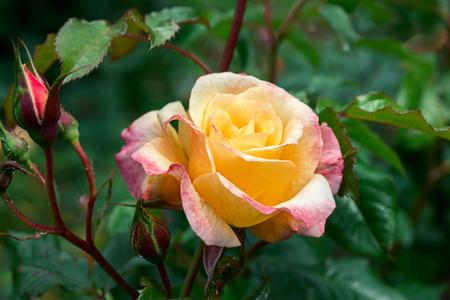 flori culture: flower rose Stock Photo