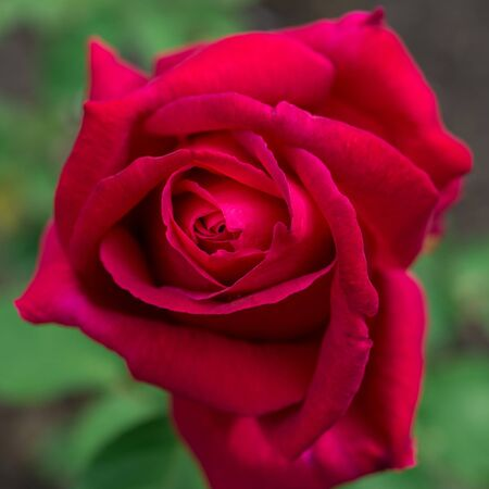 flower red rose Stock Photo