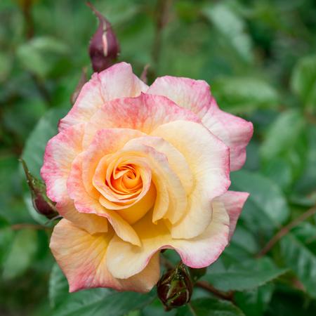 Flower rose tea Stock Photo