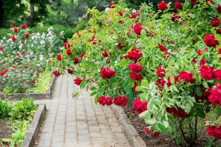 Shrub roses in the garden