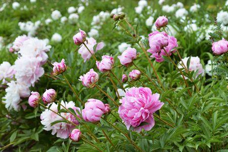 Flowers Pink Peonies Stock fotó