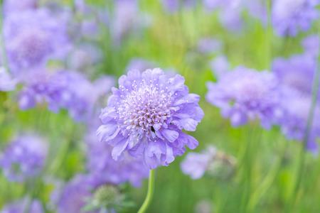 flower scabiosa