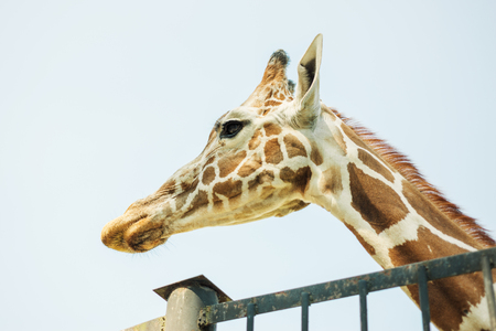 Muzzle of a giraffe at the zoo Stock Photo