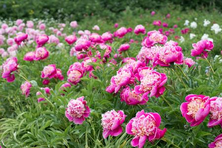Flowers pink peonies in the garden Foto de archivo