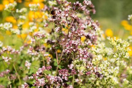 Flowers Origanum vulgare