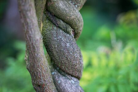 Twisted tree trunk of a creeper 写真素材
