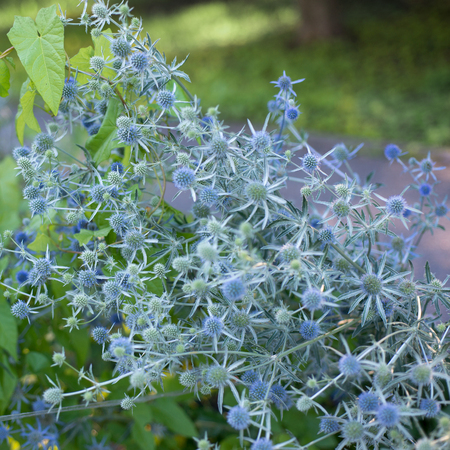 Flowers Eryngium planum Stock Photo