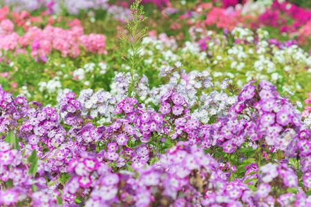 Fiori colorati phlox crescono nel giardino