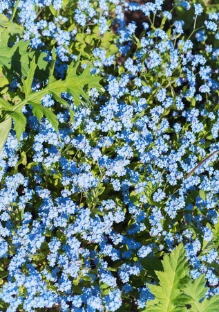 Background of flowers of forget-me-nots