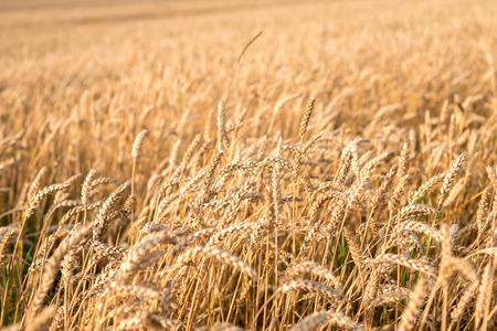 Field with golden ears Foto de archivo