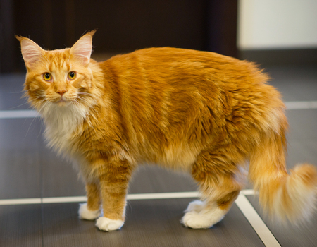 Red Coat Maine Coon Stock Photo