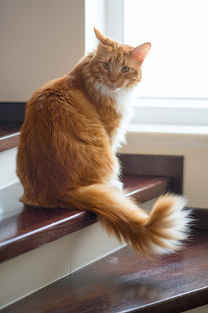 Red Cat of the Maine Coon breed sits on the stairs