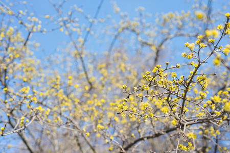 Tree dogwood yellow blossoms in spring. Cornus mas