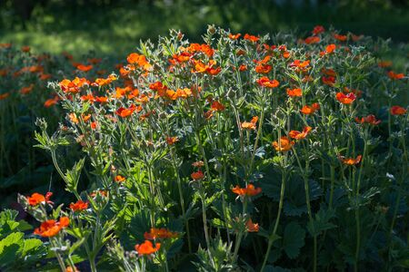Geum flower in the garden