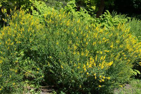 Shrubs of yellow flowers Genista tinctoria in the garden