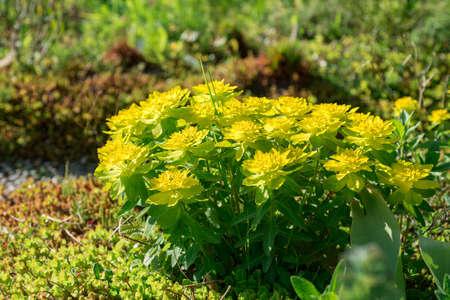 Flower Spurge yellow blooms in the garden
