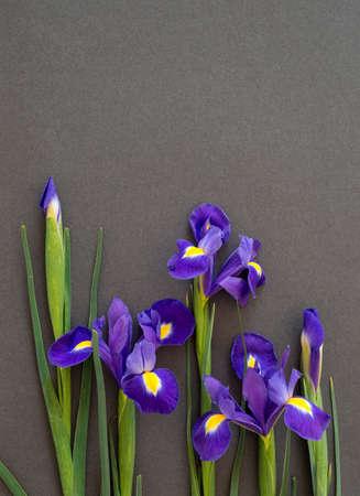 Flowers live blue irises lie on a dark paper, postcard Stock Photo