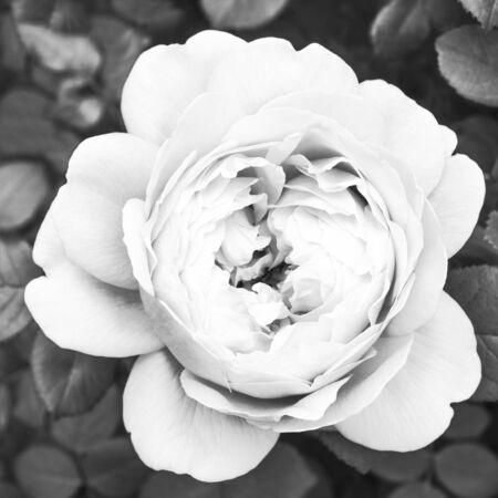 White rose close-up, black and white Stock Photo