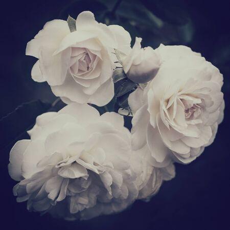 White rose on a dark background close-up, stylized