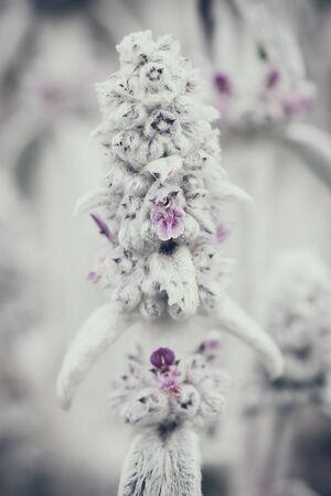 Flower Stachys byzantina close-up, stylized