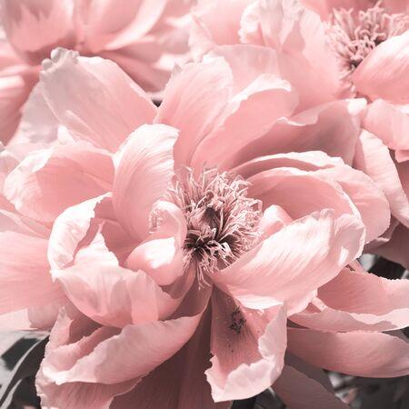 Close-up stylized pink peony flower