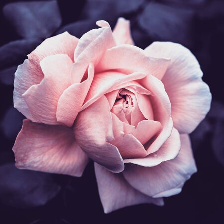 Pink rose on a dark background close up, stylized