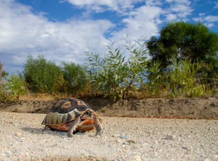 bowsprit: A Bowsprit   Angulate tortoise walking down the gravel road with green trees, blue skies and white clouds  Stock Photo