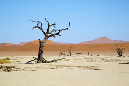 Deadvlei - camel thorn trees and dunes - Camel thorn trees with red dunes in the background  At Deadvlei, Sossusvlei