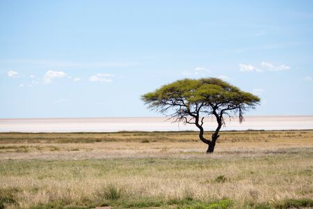 Etosha pan with a thorn tree in the foreground