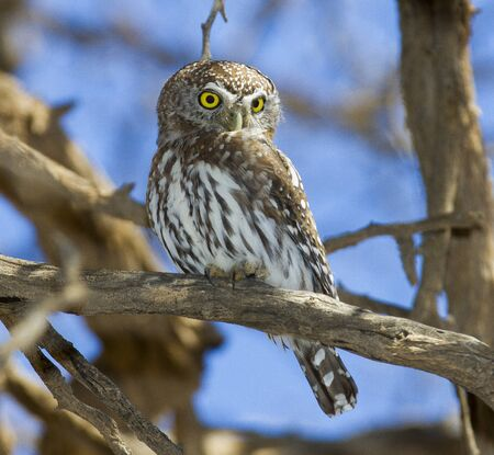 Pearl-spotted owlet Stock Photo