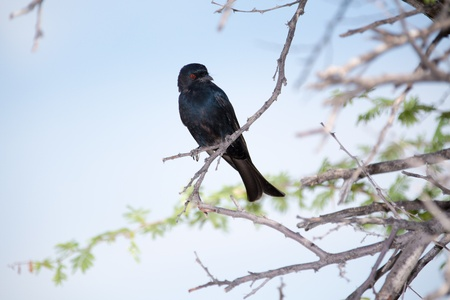 forked tail: A black fork-tailed Drongo with red eyes, sitting on a tree branch  Stock Photo