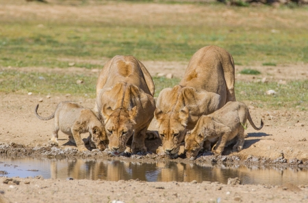 Lionesses and their cubs drinking water at a small dam  photo