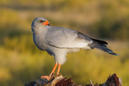 chanting: A Pale Chanting Goshawk standing on a tree stump, looking back over it s shoulder