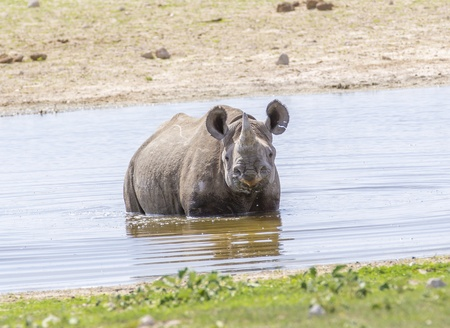 cool off: Black Rhino in dam - A Black Rhino standing in the water to cool off