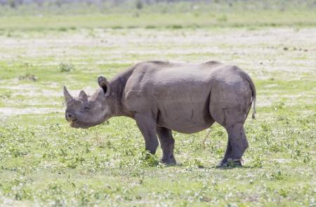 Smiling Black Rhino - Een zeer vriendelijke zwarte neushoorn staan in het veld, glimlachend