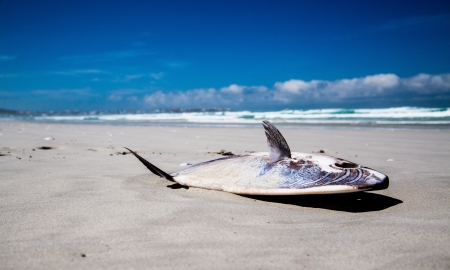 sunfish: A stranded Mola Mola Sunfish lying on the beach  In contrast it is a bright shiny day with blue skies