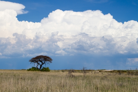 A landscape with a thorn tree in the foreground and approaching rain storm - big white clouds