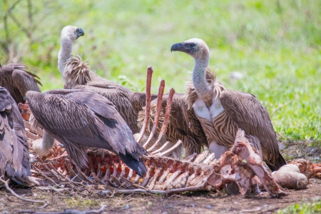 White-backed vultures feeding off a carcass
